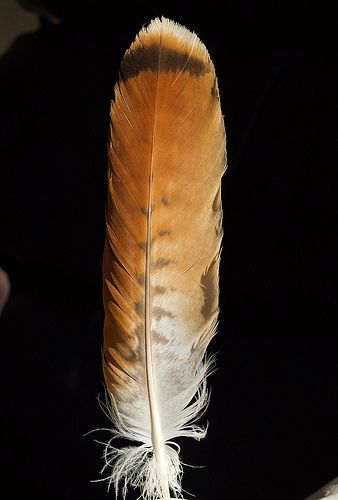 Tail feather of a Red Tailed Hawk