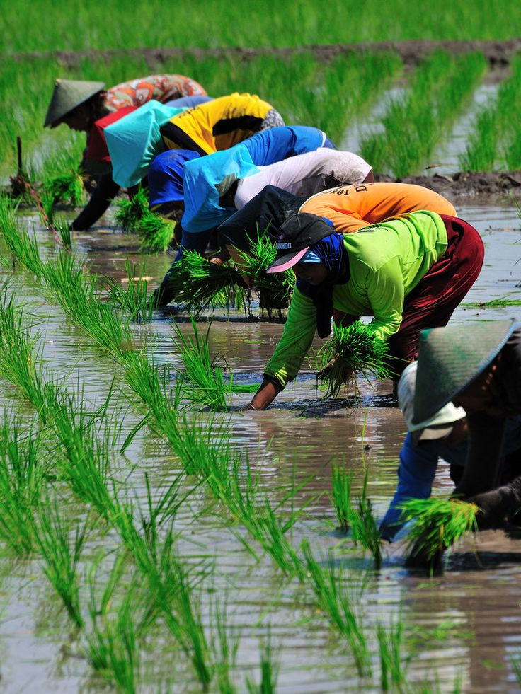 Planting paddy field   by Daniel Sin