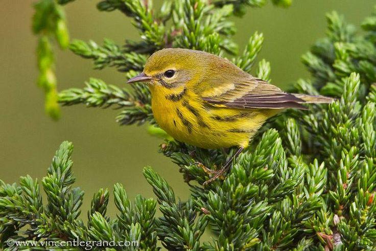 Chaque automne des oiseaux n arctiques sont trouv s le - Comment effrayer les oiseaux ...