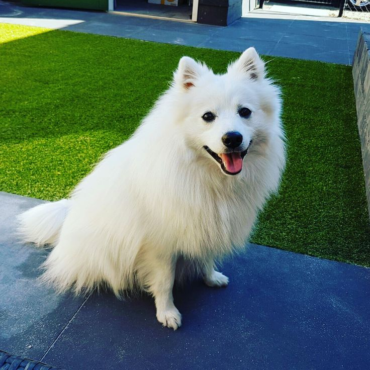Beauty Japanse Spitz/spits #Dog