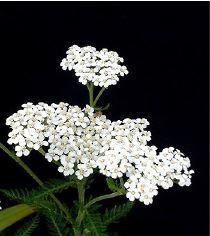 1000 images propos de plantes et fleurs comestible sur. Black Bedroom Furniture Sets. Home Design Ideas