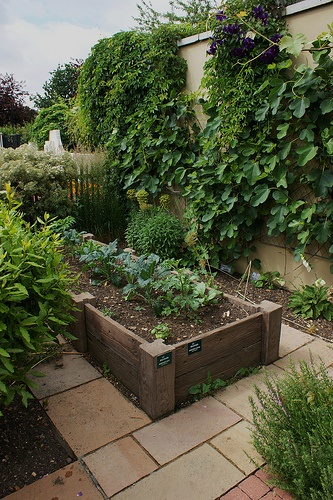raised bed and trained fig on wall.