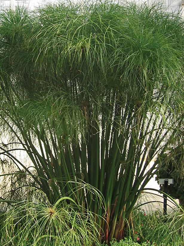 Tender Tropical For gardeners in frost-free zones, Egyptian papyrus 'King Tut' creates a dramatic focal point for the pond's edge or patio; the grass-like plant reaches 4 to 7 feet tal