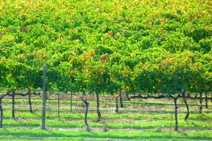 Geographe Bay vineyards, SWA, by Jo Castro