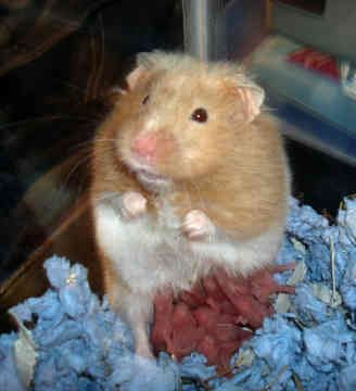 Pictures of Syrian Hamster Babies - #rock-cafe