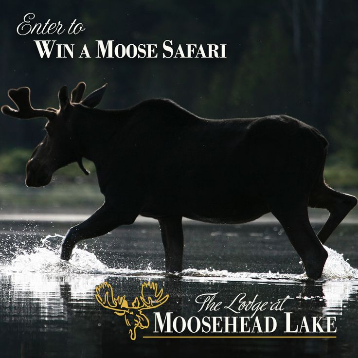 b70dc9303814d83d112fbcd6172dca1a enter to win moose 14 best moose & wildlife in moosehead maine images on pinterest