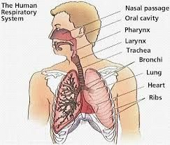 This post discusses digestive & respiratory system work and the circulatory system is very useful. This system transports the food nutrients, and oxygen to the body cells. It also delivers of carbon dioxide and waste products. This helps the respiratory system by transporting nutrients to keep the lungs clean, and healthy.