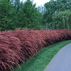17 best images about entrance on pinterest hedges for Ornamental grass with purple plumes
