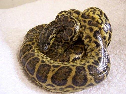 A Sociedade Protetora dos Animais da Escócia (Scottish SPCA) busca um lar para as 39 cobras abrigadas na entidade. Os répteis foram recolhidos após serem abandonados ou fugirem do local onde vivam.