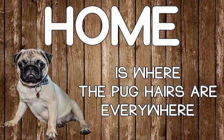 239 Best Images About Pugs On Pinterest