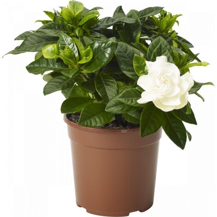 Gardena - Välkänd krukväxt, älskad för sina väldoftande dubbla vita blommor och glänsande blad. Trivs i ljust läge, undvik direkt sol i jämnt fuktig jord. Mer sparsam vattning vintertid.
