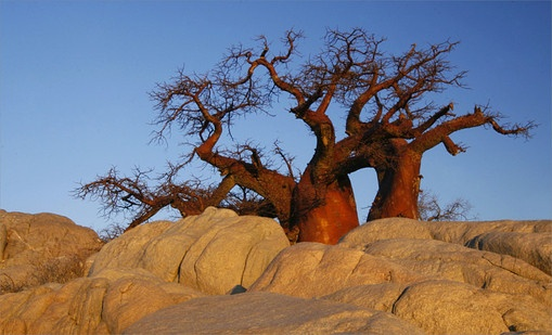 Baobabs growing from between the rocks