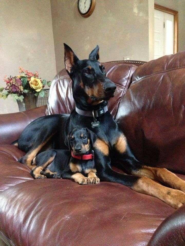 Oh So Darling Doberman Pinscher Dog Doberman Dogs Dogs