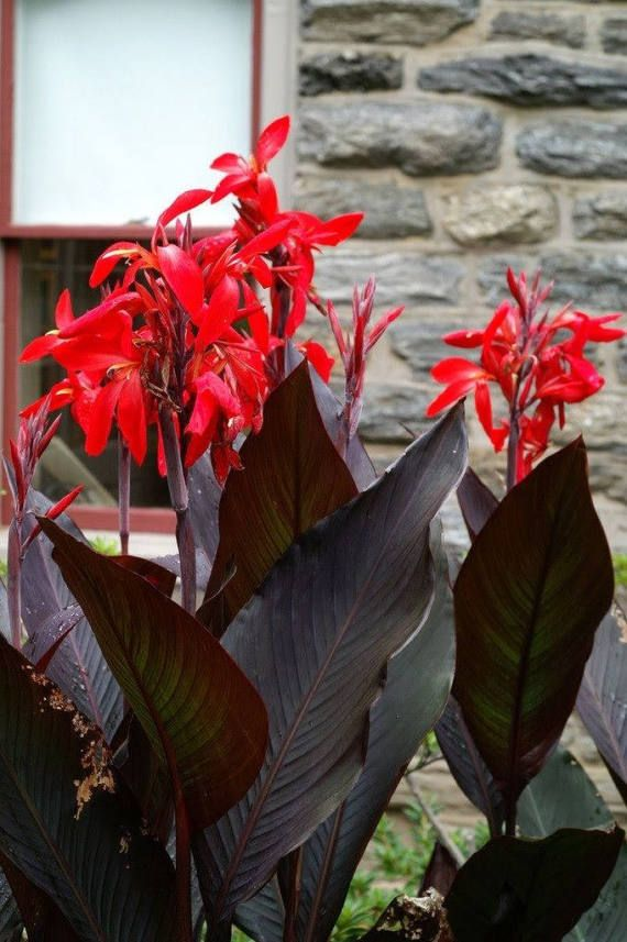 Canny Lily Bulb 'Black Knight' Awesome Dark Foliage Plant Red Hummingbird Feeder Flowers Hardy Zones 7-10 FULL SUN Grows 3 to 5 Feet Tall