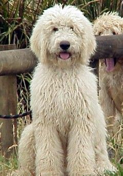 Labradoodle   ...........click here to find out more     http://googydog.com              ...... P.S. PLEASE FOLLOW ME IN HERE @Emily Schoenfeld Schoenfeld Wilson