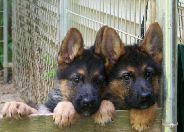 Ah! I want a purebred german shepherd puppy!! he will be male and i will name him Max =)