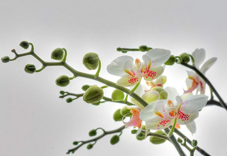 Macht jede Wand zu einem Highlight!  Mit dieser schönen Fototapete »Orchidee« der Marke Komar können Sie jedem Raum ganz einfach ein neues Flair verleihen.  Die blühenden Orchideen sorgen für pure Entspannung.  Der Untergrund muss fett-, staubfrei und sauber sein, dann ist die Anbringung sehr einfach, denn Kleister und Gebrauchsanweisung sind im Lieferumfang enthalten.  Die Fototapete besteht a...