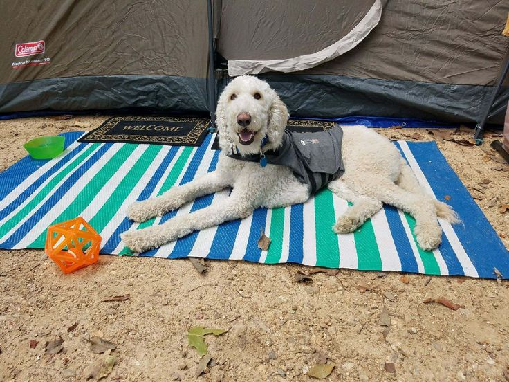 Griffin is an adoptable Dog - Golden Retriever & Standard Poodle Mix searching for a forever family near Greensboro, GA. Use Petfinder to find adoptable pets in your area.