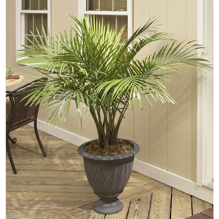 25 Great Ideas About Majesty Palm On Pinterest Backyard