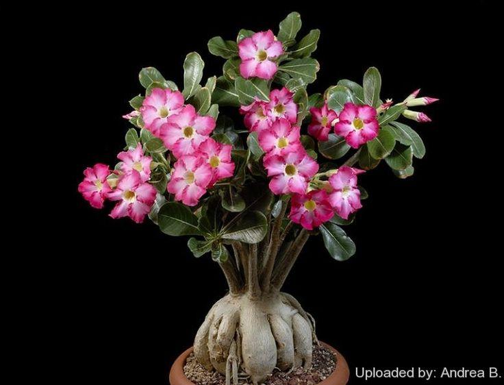 adenium obesum desert rose garden pinterest bonsai w stenrose und suche. Black Bedroom Furniture Sets. Home Design Ideas