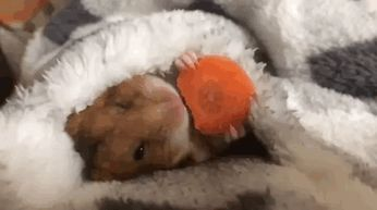 Sometimes You Just Need A Hamster Eating A Carrot Under A Blanket