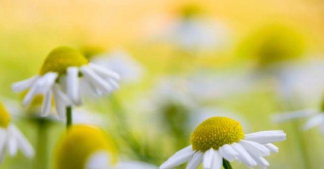 Από: itrofi.gr   Γνωστό από την αρχαιότητα το χαμομήλι (Matricaria recutita, ή Matricaria chamomilla) εκτιμάται για τα πολλαπλά οφέλη που...