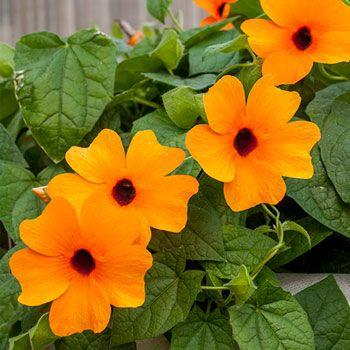 Black-eyed Susan Vine 'Sunny Suzy Red Orange'