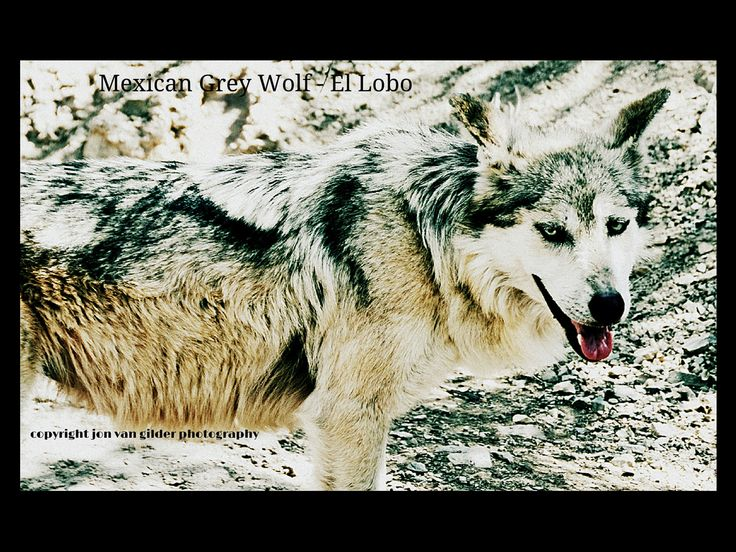 El Lobo - a beautiful Mexican Grey Wolf photographed in the Tucson desert #wolf #wolves #tucson # desert #jonvangilder.com