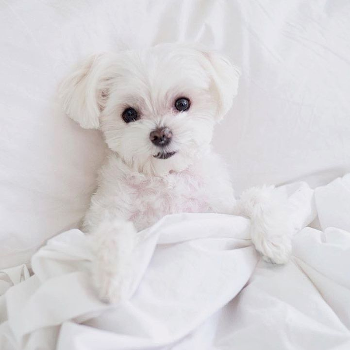 Time to sleep. And by sleep I mean scroll through Instagram in bed for 2 hours Follow @maltese.dog.love for more via @mochiandthecity Love to tag? Please do! - #maltese #malteseofinstagram #말티즈 #malteseofficial #malteselovers #マルチーズ #maltese101 #maltesepuppy #maltipoo #maltesedog #독스타그램 #멍스타그램 #강아지 #말티즈그램 #개스타그램 #펫스타그램 #반려견 #yorkie #견스타그램 #maltesers #maltes #poodle #malteselove #morkie #개린이 #instamaltese #malteselover #인스타독 #malteseworld #cutedog