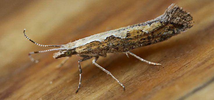 Diamondback Moth - Pest Identification for Vegetable Gardens