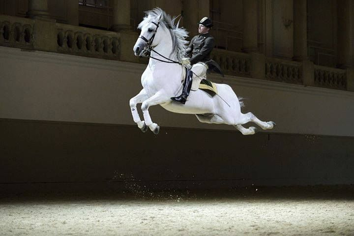 Lipizzan's are know as the dancer of all horses. It's crazy how amazing the animals can move and how beautiful. These horses are used for Dressage and the dancing they do. Lipizzan's are mostly Grey's