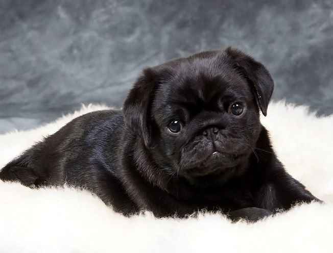Cute Black Pug Puppy Black Pug Puppies Baby Pugs Pug Puppies