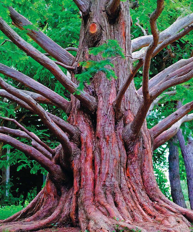Dawn-Redwood-in-Edwards-Gardens.jpg