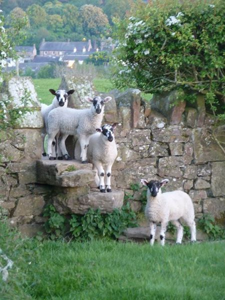 Valais Blacknose Sheep gathered on a stone wall, in the English Countryside, UK.