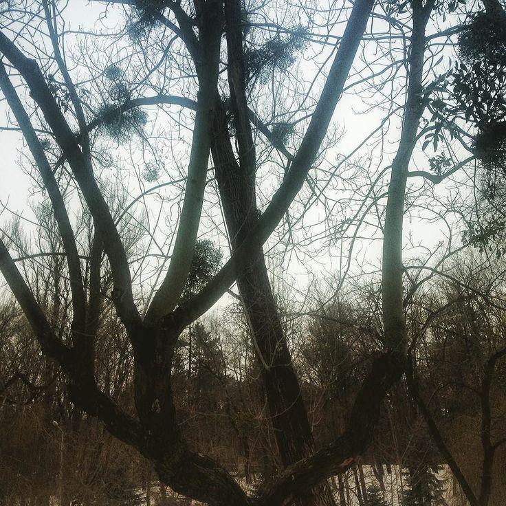 Зимние деревья цветут зелёными шариками природа нас многому пробует научить.
