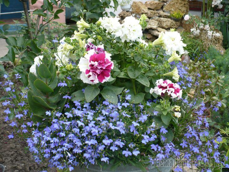 Среди многообразия однолетников не счесть красивых, нежных, великолепных, но особое место занимает изящная воздушная, словно нарисованная акварелью, лобелия, Этот цветок великолепен на клумбе в роли п...
