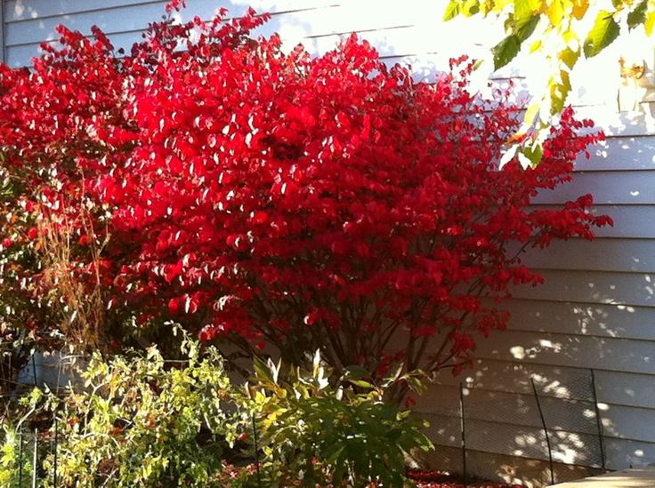 Euonymus alatus 'Compactus' (Kardinaalshoed), verkleurt prachtig rood in herfst, mooi vertakte, wat horizontaal groeiende struik, heeft kurklijsten, kan in ruime kuip, stelt weinig eisen