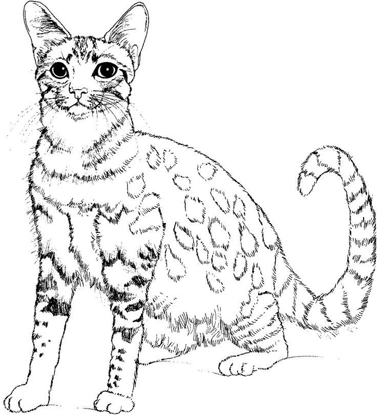 wild cat coloring sheetscat printable coloring pages free download
