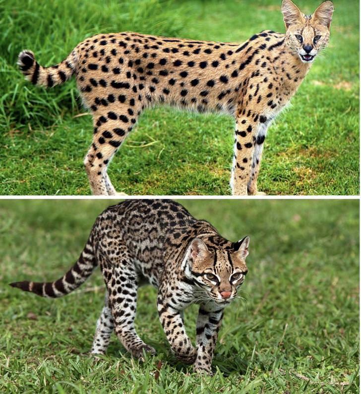 Serval Vs Savannah Cat Album On Imgur Savannah Chat Savannah Cat Cat Has Fleas