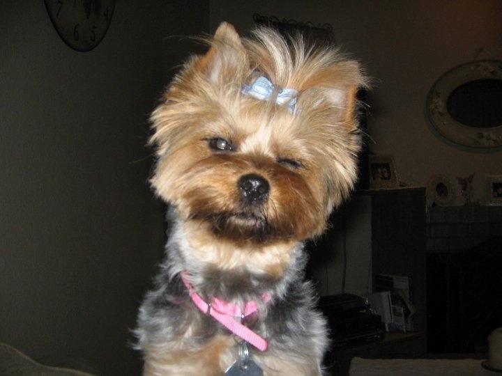 Winking yorkie. My baby girl! | Yorkies | Pinterest