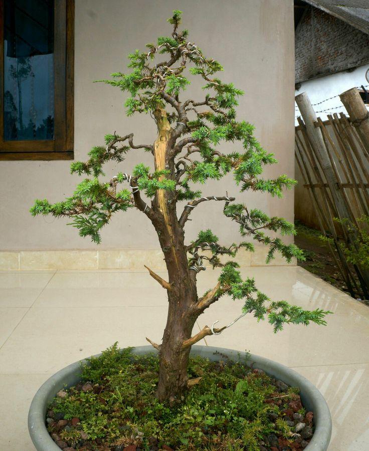 Juniperus Rigida, 2016