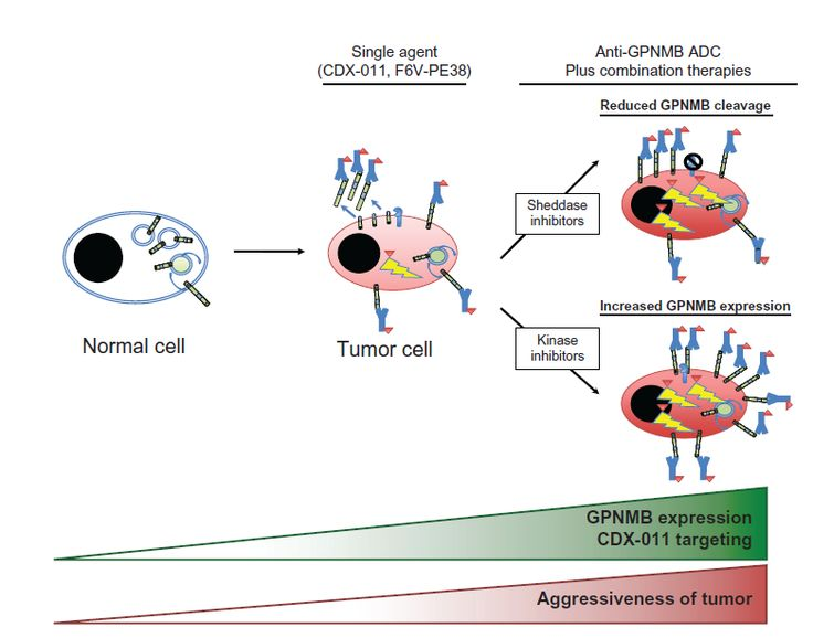 Figure 3 Therapeutic strategies employing anti-GPNMB antibody-drug conjugates (ADCs).