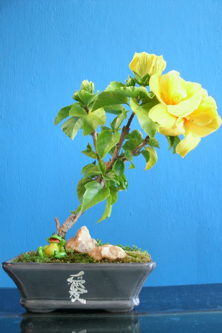 237 best images about hibiscus bonsai on pinterest for 1800 flowers bonsai