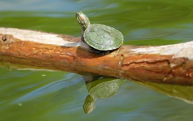 TORTUGAS DE AGUA DULCE  Si pensáis que vuestra tortuga puede tener esta enfermedad lo primero que tendréis que hacer es a islarla para...