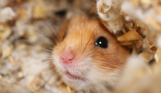 hamster, site also include info about training a hamster