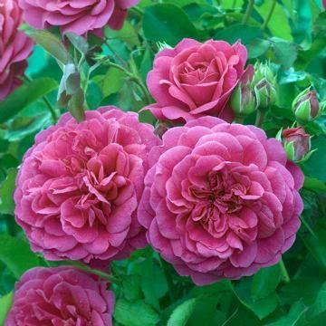 En ros av mer modern karaktär än de flesta engelska rosor. Blommorna är från ljust till djupt rosa. Efter hand som blomman åldras blir den kupolformad medan färgen - ovanligt för engelska rosor - intensifieras gradvis.. Blommorna är förhållandevis stora och många och har en ljus, ganska grön doft. En sund och mycket yvig buske, medelstor och något bågböjd. 1 * 1 meter