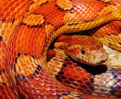 Schlange, Kornnatter, Reptil
