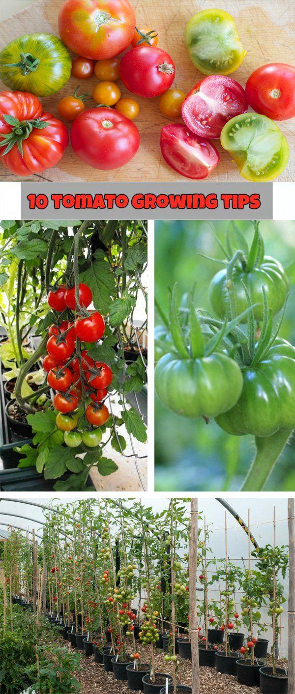 10 tomato growing tips - NaturalGardenIdeas.com