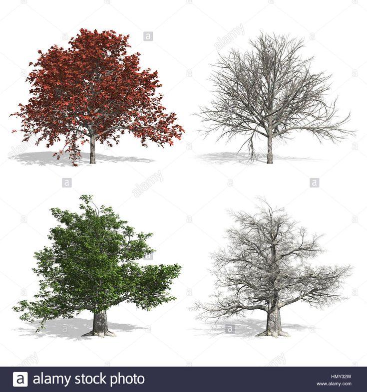 Bükk fák, elszigetelt fehér háttérrel.  Stock fotó