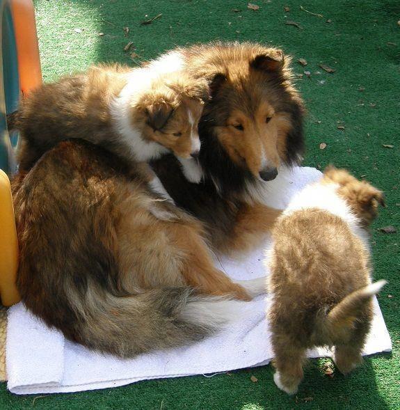 Shetland Sheepdog Energetic And Playful Sheep Dog Puppy